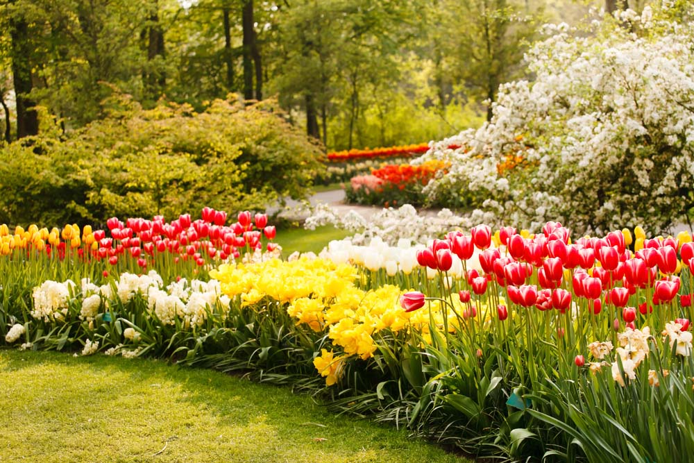 Try adding beds of tulips in your home garden